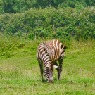 UC Davis wildlife biologist Tim Caro observes zebra behavior in response to biting fly annoyance.